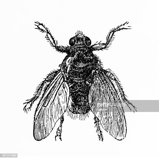 forest fly (hippobosca equina) - fly insect stock illustrations, clip art, cartoons, & icons