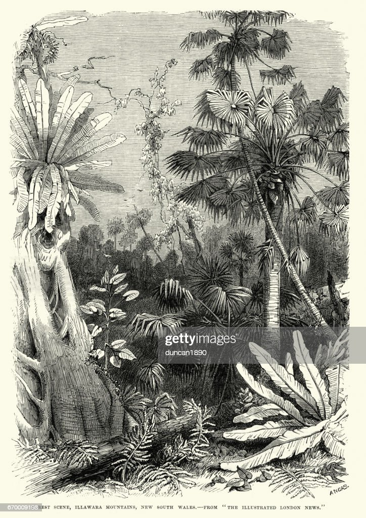 Forest scene, Illawarra Mountains, New South Wales 19th Century : stock illustration