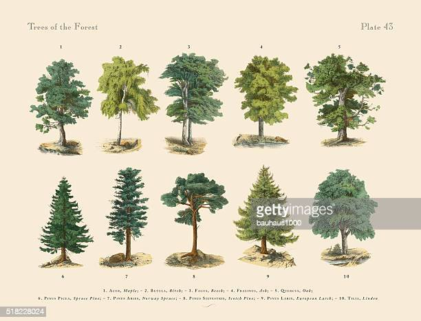 forest trees and species, victorian botanical illustration - ash stock illustrations, clip art, cartoons, & icons