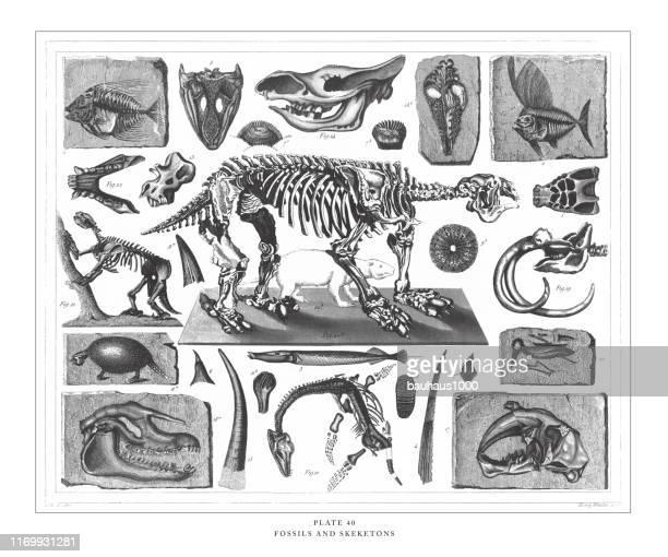 ilustraciones, imágenes clip art, dibujos animados e iconos de stock de fósiles y esqueletos grabado sarte ilustración antigua, publicado en 1851 - animal extinto