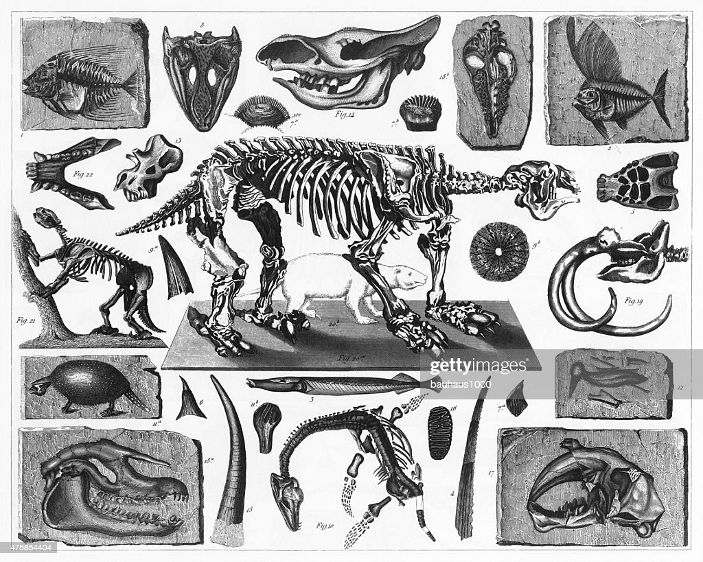 Fossils and Skeletons Engraving : stock illustration