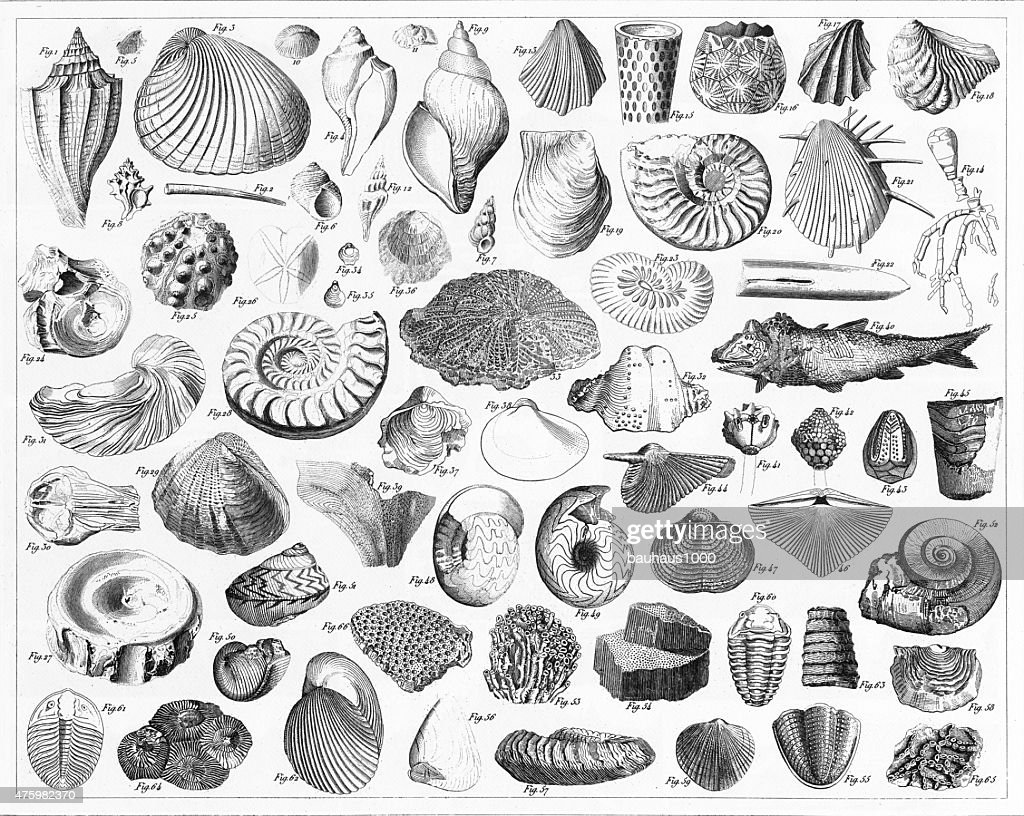 Fossils From Various Periods Engraving : stock illustration