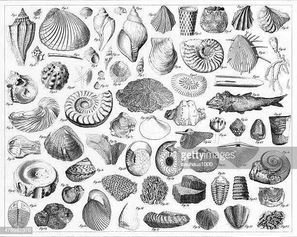 Fossils From Various Periods Engraving