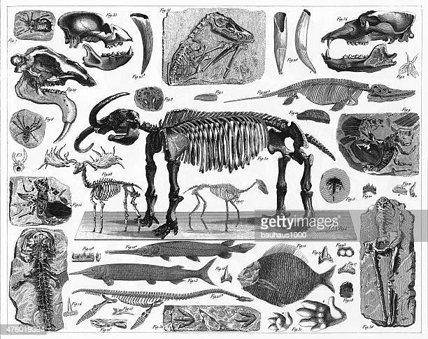fossils, tracks and skeletons engraving - animal skeleton stock illustrations, clip art, cartoons, & icons