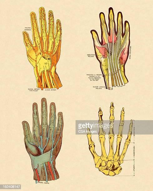 4 つの手の眺め - 靭帯点のイラスト素材/クリップアート素材/マンガ素材/アイコン素材