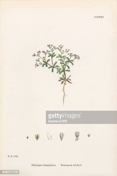 four-leaved all-seed, polycarpon tetraphyllum, victorian botanical illustration, 1863 - sandwort stock illustrations, clip art, cartoons, & icons