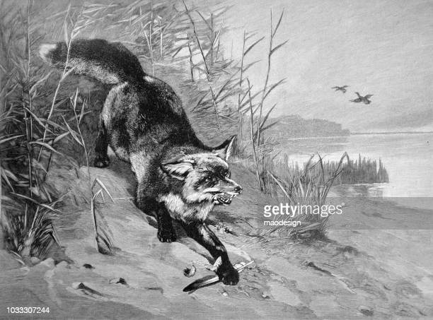 Fox during hunting - 1896