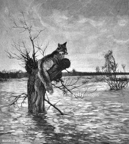 Fox ontsnapt aan de boom overstromingen - 1896