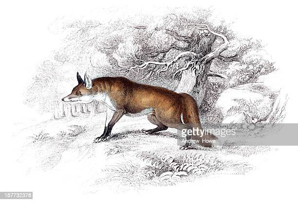 Fox - Hand Coloured Engraving