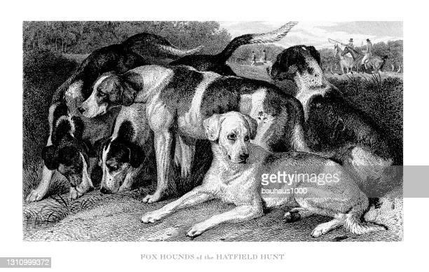 fuchs-hunde der hatfield jagd graviert illustration - fuchspfote stock-grafiken, -clipart, -cartoons und -symbole