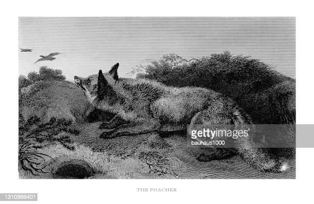 fuchs in der natur: porträt eines wilderers gravierte illustration - fuchspfote stock-grafiken, -clipart, -cartoons und -symbole