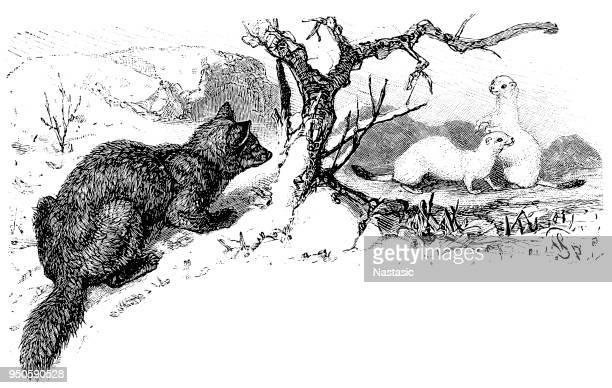 Fox is hunting Sable (Martes zibellina)