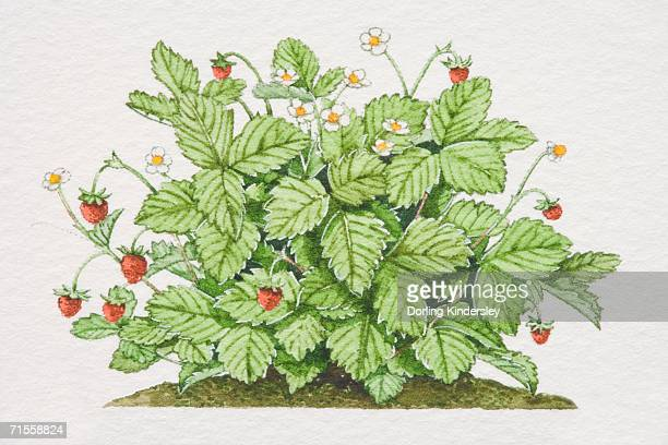 fragaria vesca, wild strawberry plant. - perennial stock illustrations, clip art, cartoons, & icons