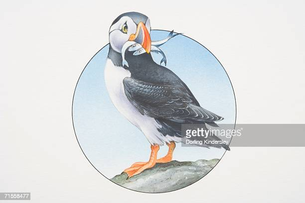 fratercula arctica, atlantic puffin perched on a rock holding fish in its beak. - webbed foot stock illustrations, clip art, cartoons, & icons