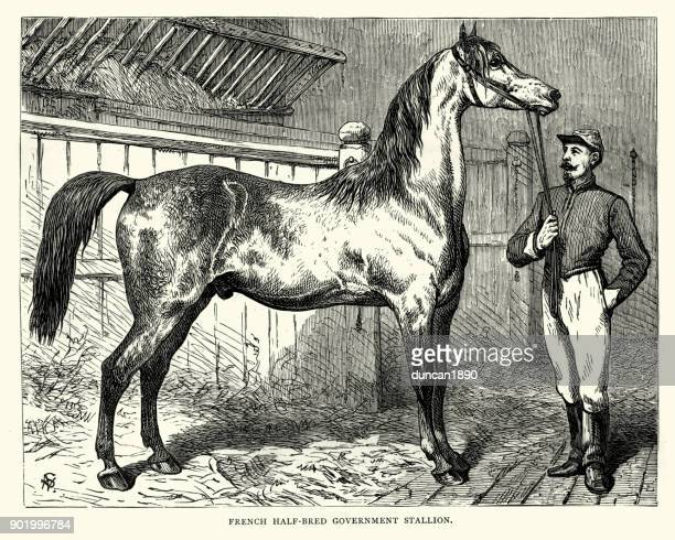 french half bred government stallion, 19th century - stallion stock illustrations, clip art, cartoons, & icons
