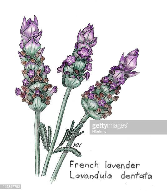 ilustraciones, imágenes clip art, dibujos animados e iconos de stock de lavanda francesa, lavandula dentata, botanical dibujo a lápiz de colores - lavanda