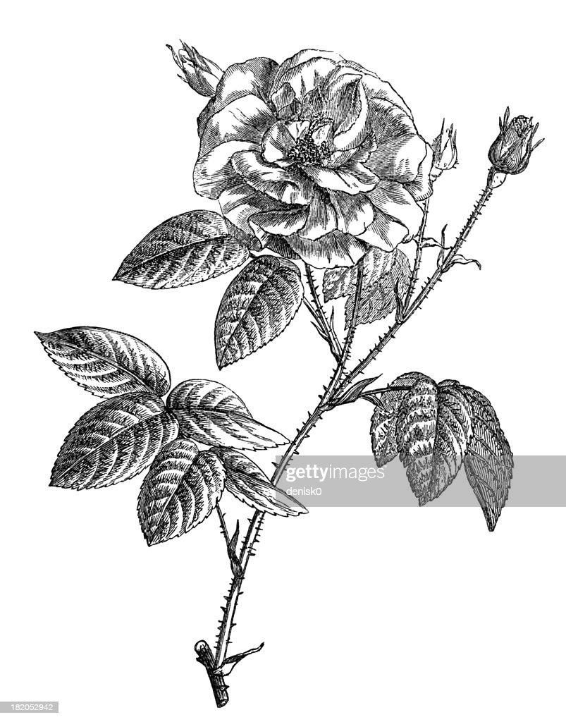 French Rose : stock illustration