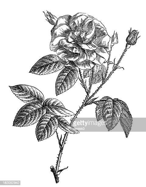 french rose - rosa stock illustrations