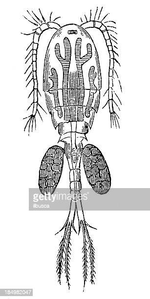 freshwater copepod (cyclops serrulatus) - cyclops stock illustrations, clip art, cartoons, & icons