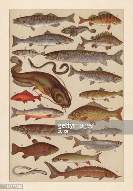 illustrations, cliparts, dessins animés et icônes de poisson d'eau douce, chromolithographe, publié en 1896 - carpe