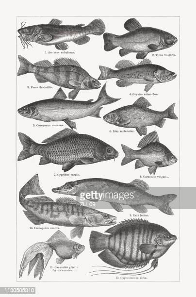 illustrations, cliparts, dessins animés et icônes de pêche en eau douce, gravures sur bois, publiée en 1897 - poisson rouge