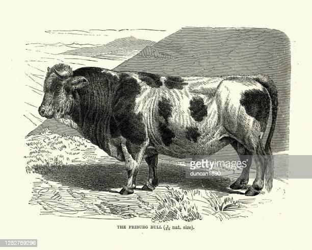 フリブルジョワーゼ(フライブル)牛、国内牛の絶滅した品種 - フリブール州点のイラスト素材/クリップアート素材/マンガ素材/アイコン素材