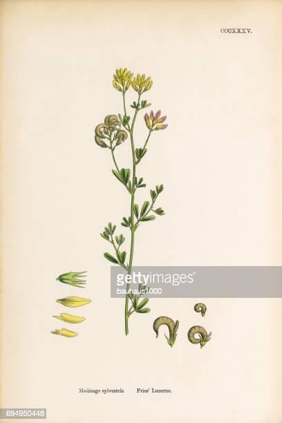 fries' lucerne, medicago sylvestris, victorian botanical illustration, 1863 - plant bulb stock illustrations, clip art, cartoons, & icons