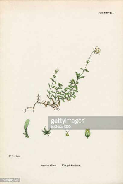 fringed sandwort, arenaria ciliata, victorian botanical illustration, 1863 - sandwort stock illustrations, clip art, cartoons, & icons