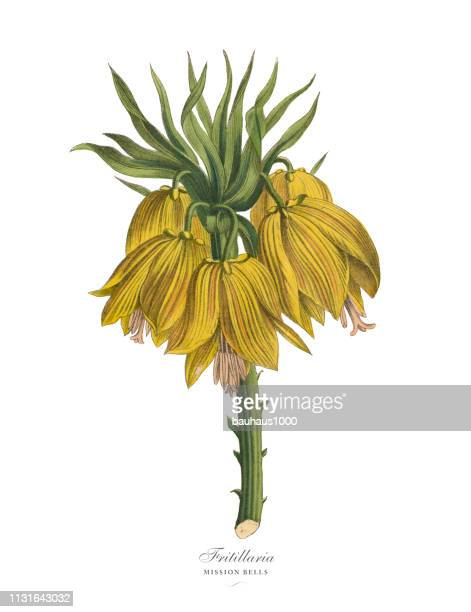 fritillaria or mission bells plants, victorian botanical illustratio - lithograph stock illustrations