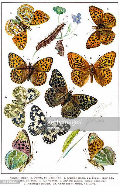 fritillaries and marbled white butterflies of europe - life cycle stock illustrations