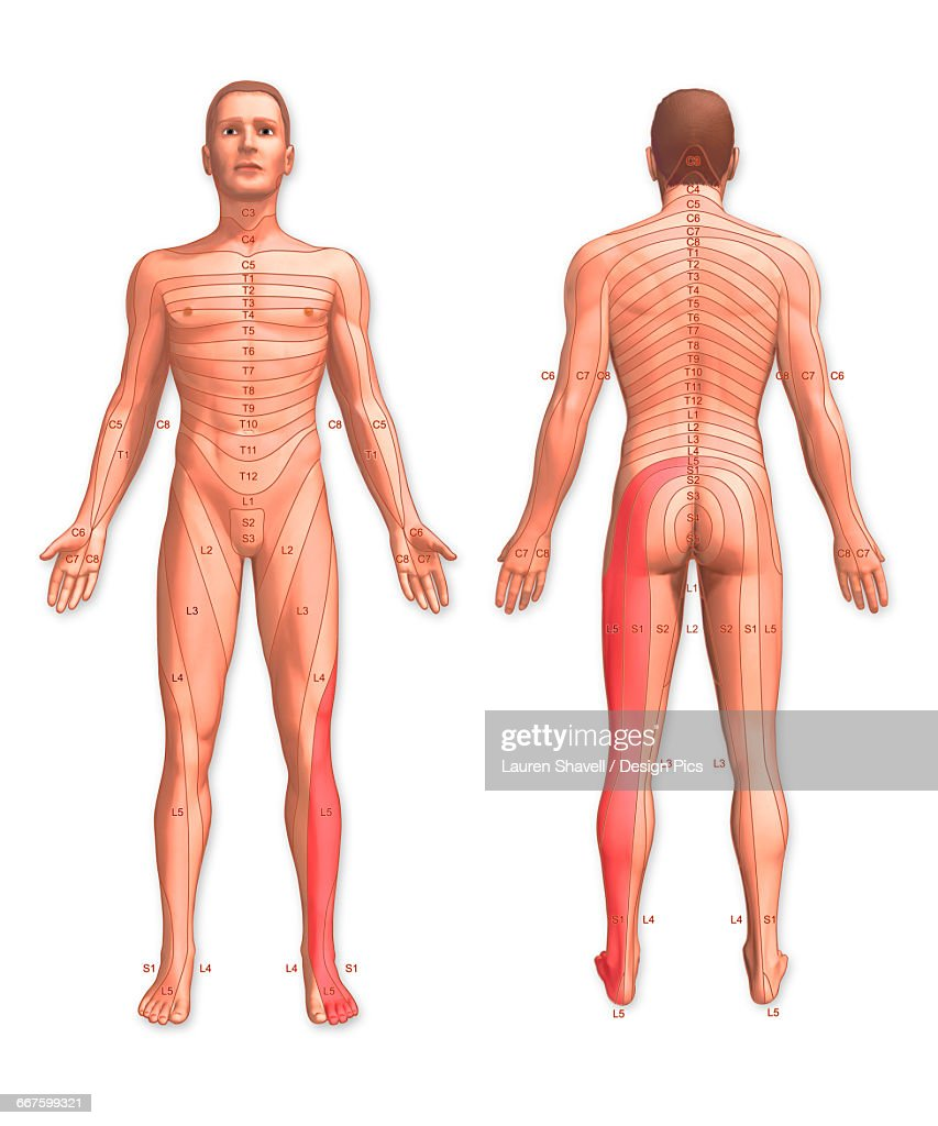 Front and back view of a man with the dermatomes stock front and back view of a man with the dermatomes stock illustration pooptronica
