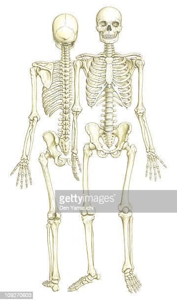 ilustraciones, imágenes clip art, dibujos animados e iconos de stock de a front and back view of a skeleton - modelos del cuerpo humano
