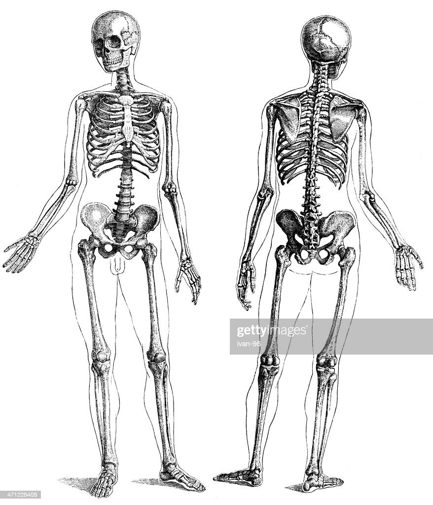 A Front And Back View Of A Skeleton Stock Illustration | Getty Images