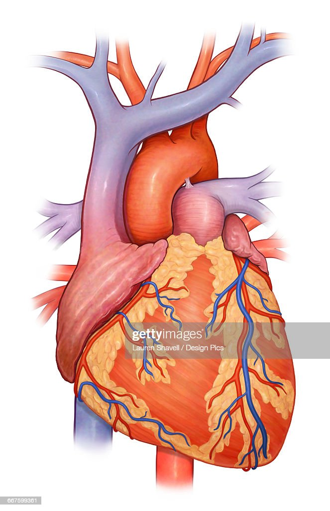 Front View Of A Normal Heart And Its Cornonary Arteries And Veins