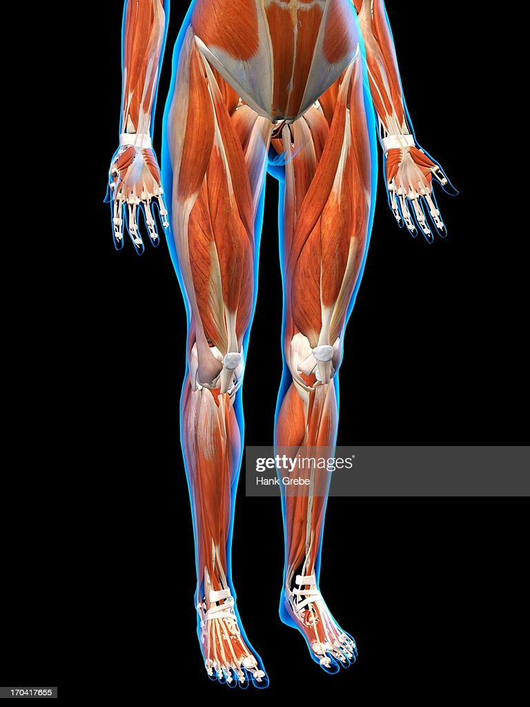 Front View Of Female Hips And Leg Muscle Anatomy In Blue Xray ...