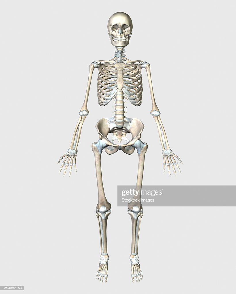 Front View Of Human Skeletal System Stock Illustration Getty Images
