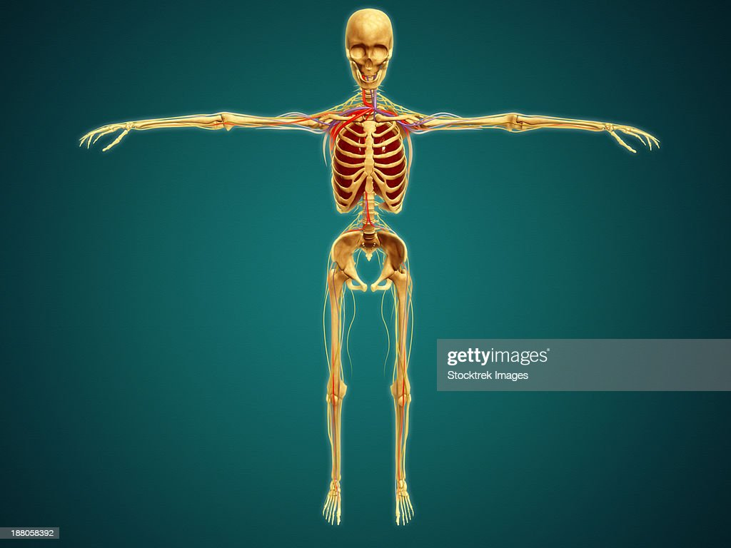 Front View Of Human Skeleton With Nervous System Arteries And Veins