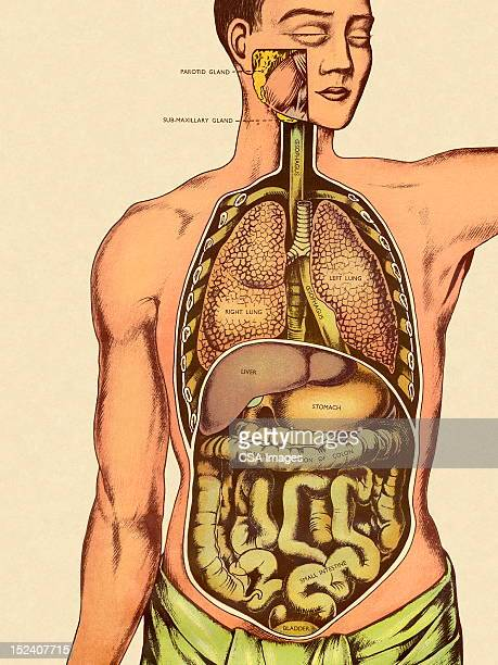 front view of man's organs - labeling stock illustrations, clip art, cartoons, & icons