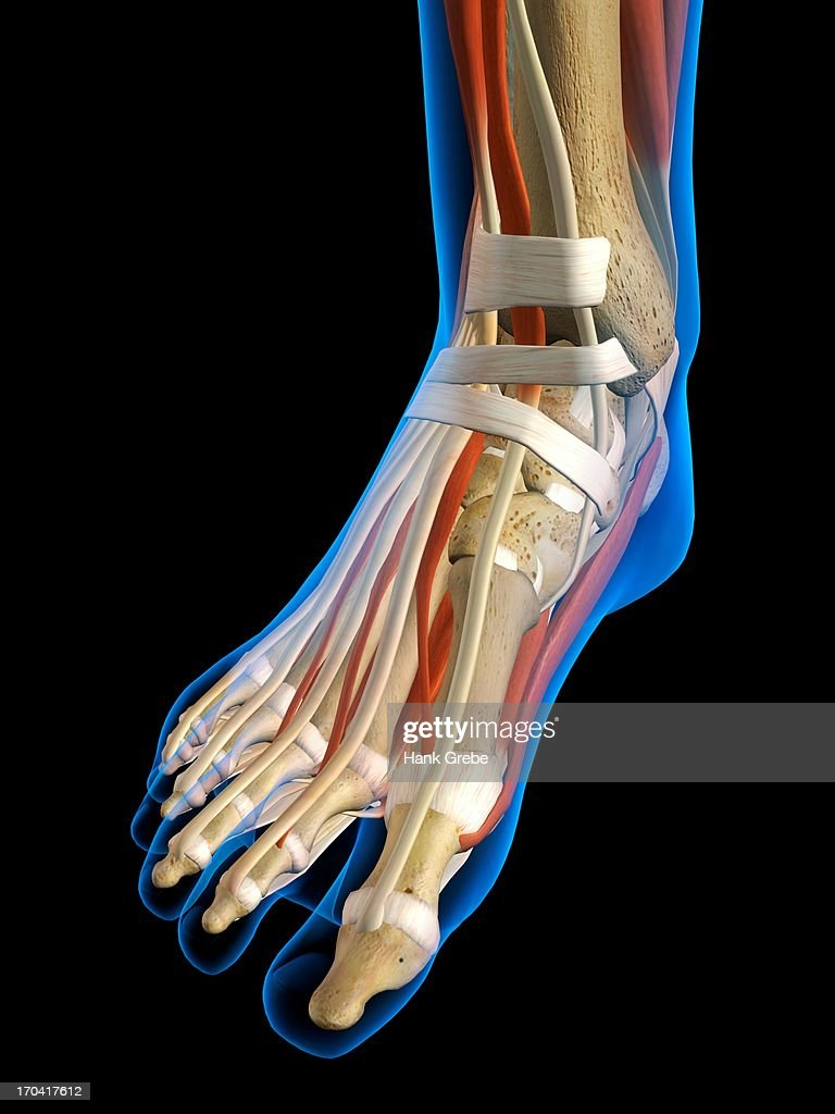 Front View Xray Of Female Ankle And Foot Bones Muscles And Ligaments ...