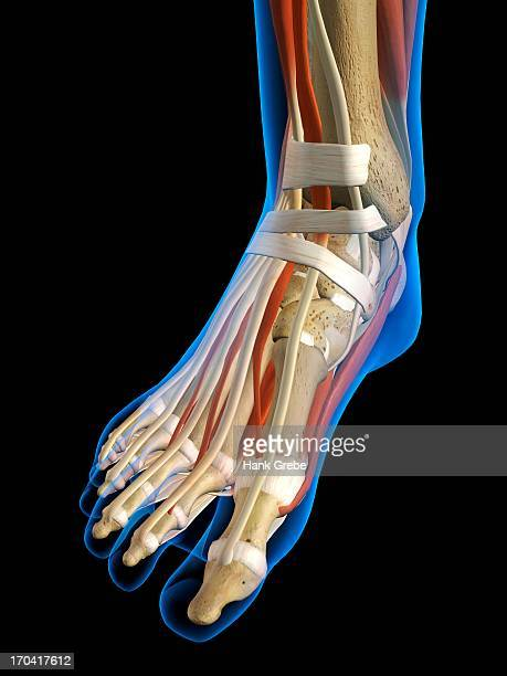 Front View X-Ray of female ankle and foot bones, muscles and ligaments. Full Color 3D computer generated illustration on Black Background