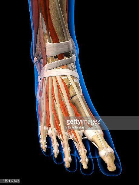 front view x-ray of female ankle and foot bones, muscles and ligaments. full color 3d computer generated illustration on black background - toe stock illustrations, clip art, cartoons, & icons