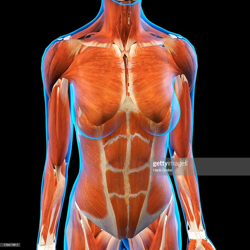 Frontal View Of Female Chest And Abdominal Muscles Anatomy In Blue ...