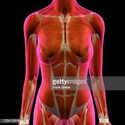 Frontal View Of Female Chest And Abdominal Muscles Anatomy In Pink ...