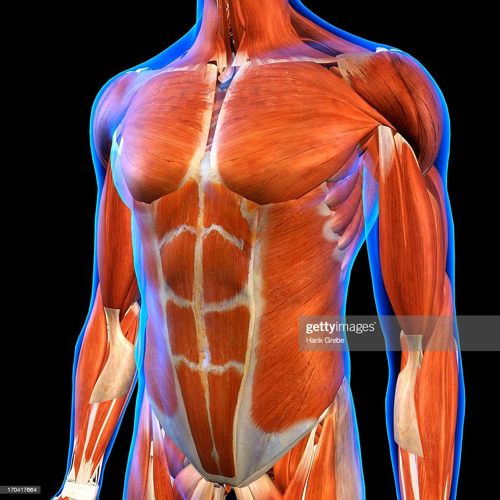 Frontal View Of Male Chest And Abdominal Muscles Anatomy In Blue ...