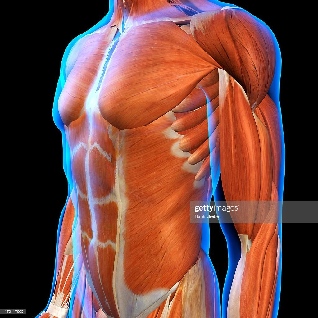 Frontal View Of Male Chest And Abdominal Muscles Anatomy In Blue