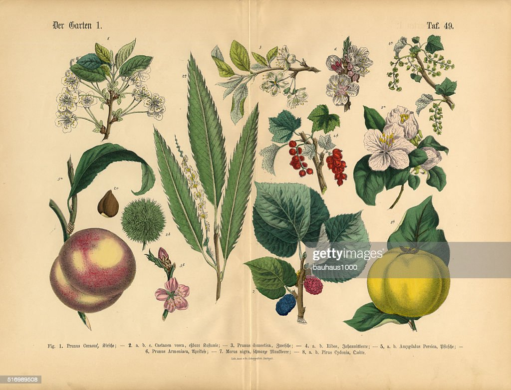Fruit Vegetables And Berries Of The Garden Victorian Botanical Illustration Stock