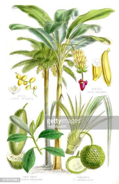 ilustraciones, imágenes clip art, dibujos animados e iconos de stock de frutas grabado de 1857 - árbol tropical