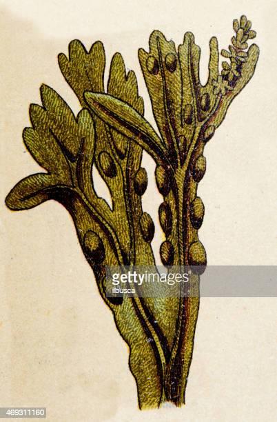 Alga Fucus vesiculosus, las centrales antiguas medio