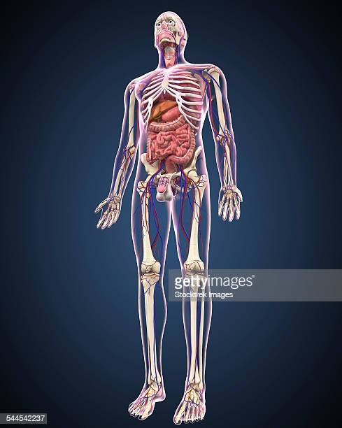 full length view of male human body with organs, arteries and veins. - human intestine stock illustrations, clip art, cartoons, & icons