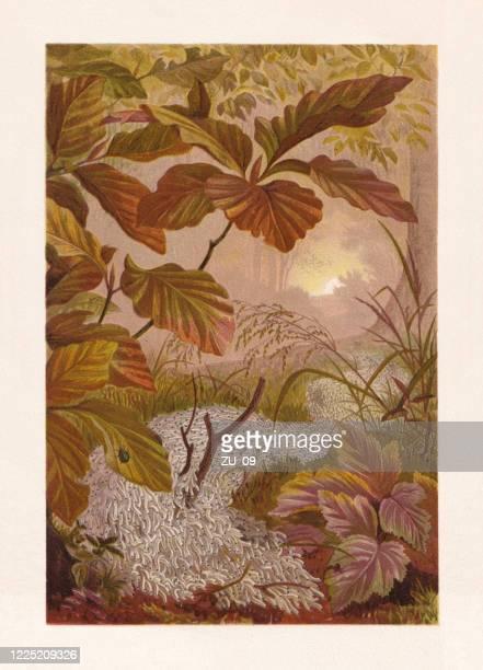 ilustraciones, imágenes clip art, dibujos animados e iconos de stock de procesión del hongo gnat larva (sciara militaris), cromolitografía, publicada en 1884 - biodiversidad